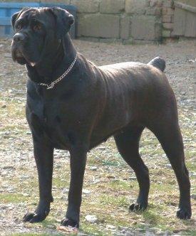 cane-corso-mastiff-119.jpg